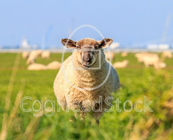 A droll ruminating sheep - EggHeadStock