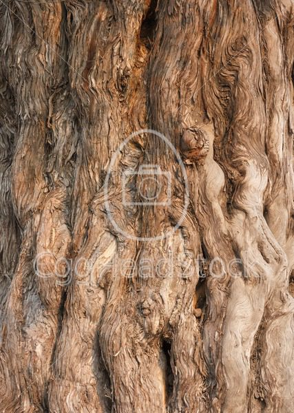 Bark of the Nine Dragon Juniper (Juniperus Chinensis) - EggHeadStock