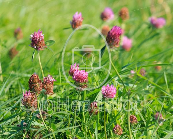 Close view of Red clover (Trifolium pratense) - EggHeadStock