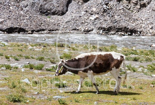 Cow grazing on the Tibetan plateau near a river - EggHeadStock