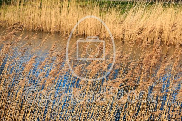 Dry reed along the rippling water - EggHeadStock