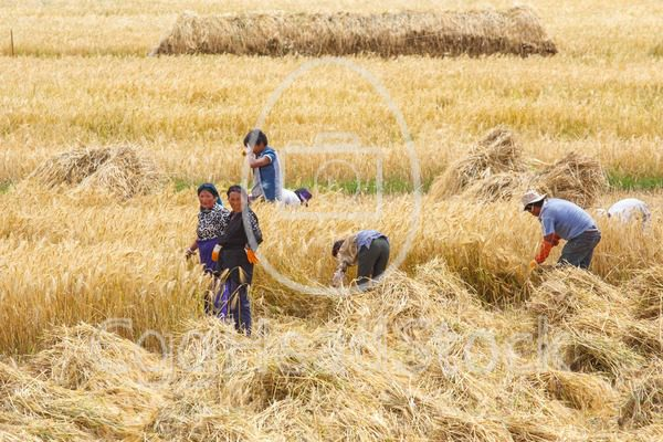 Farmers in the field harvesting wheat grain by hand in Tibet - EggHeadStock