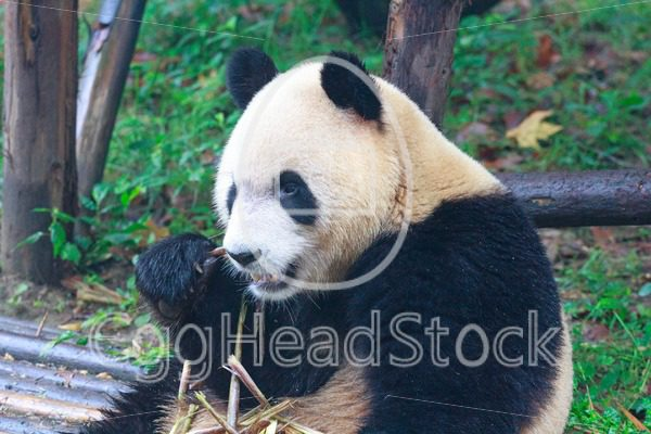 Giant panda eating bamboo - EggHeadStock