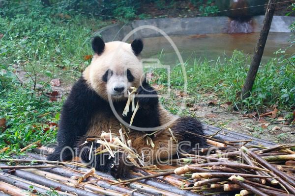 Giant panda eating next to a pile of fresh bamboo - EggHeadStock