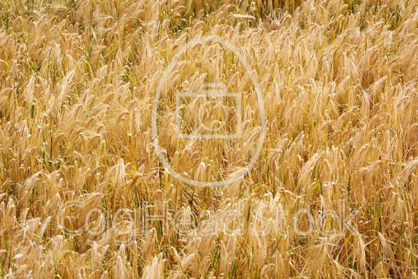 Golden wheat field in autumn - EggHeadStock