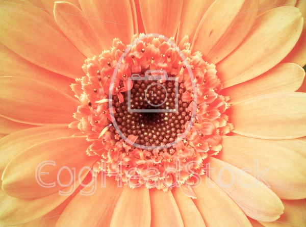 Macro detail of a vintage light pink color gerber flower - EggHeadStock