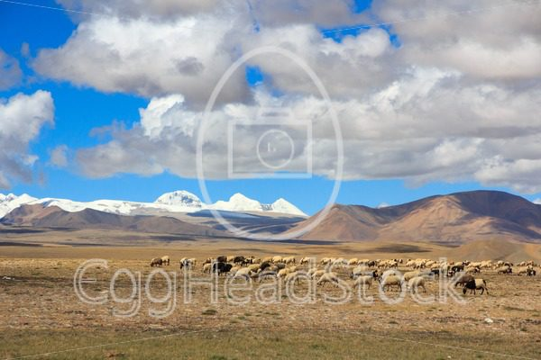 Sheep on Tibetan plateau with snowy peaks of the Himalayas in the background - EggHeadStock