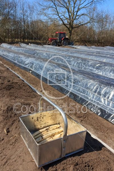 The first asparagus production of asparagus beds - EggHeadStock