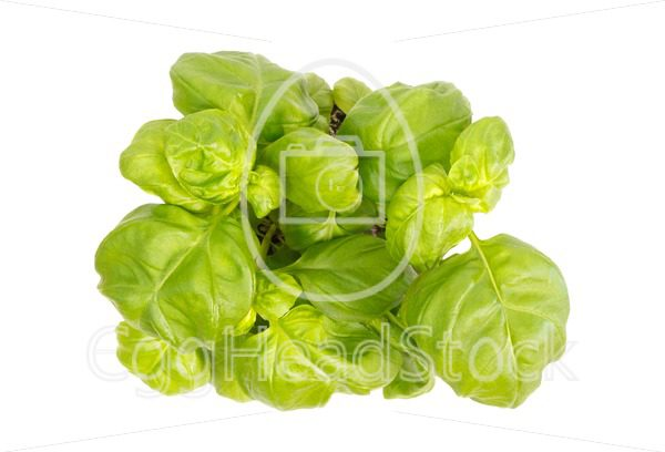 Top view of basil herb plant - EggHeadStock