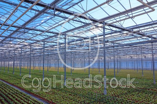 View through the greenhouse with rows of young plants - EggHeadStock
