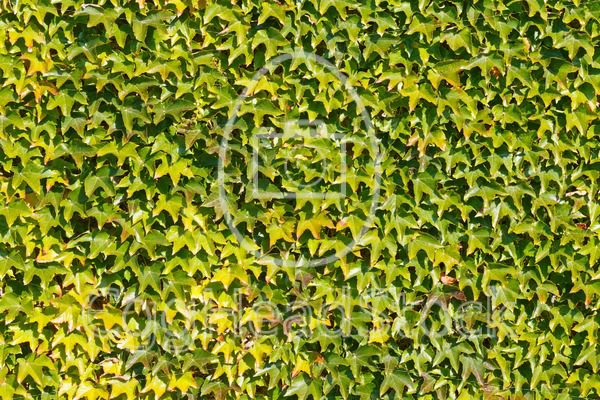 Wall covered with Virginia Creeper - EggHeadStock
