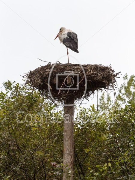 White stork (Ciconia ciconia) standing on its nest - EggHeadStock