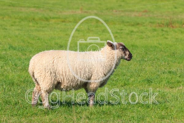 Woolly sheep standing in the pasture - EggHeadStock