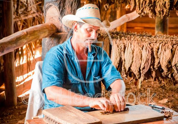 Tobacco farmer rolling a cigar of tobacco leaves in Cuba - EggHeadStock