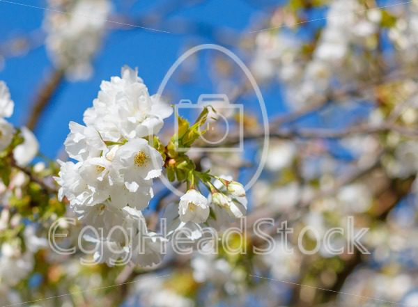 White blossom of Japanese cherry tree with shallow depth of field - EggHeadStock