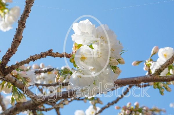 Close-up of white blossom of Japanese cherry tree - EggHeadStock