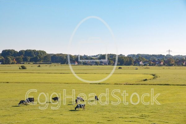 Dutch meadow landscape with cows in morning sun - EggHeadStock