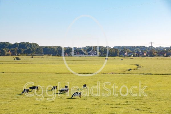 Dutch meadow landscape with dairy cattle in morning sun - EggHeadStock