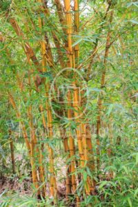 Golden bamboo stalks and green leaves - EggHeadStock