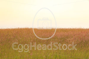 Field of tall grass - EggHeadStock
