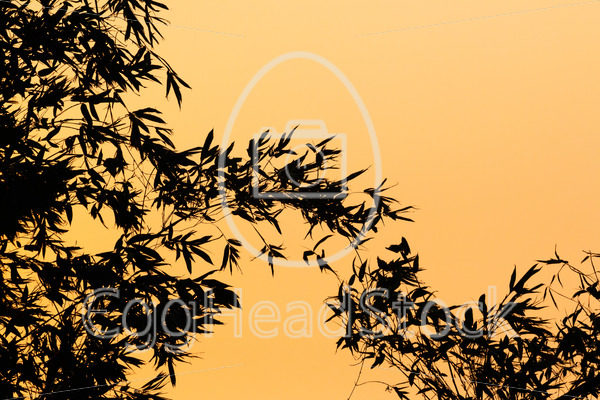 Silhouette of bamboo plants against an orange background - EggHeadStock