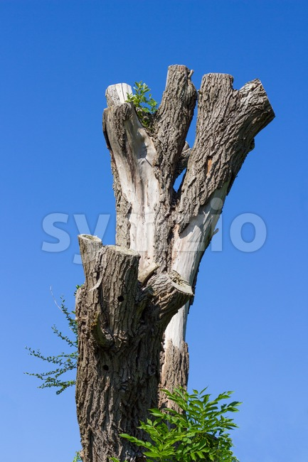 Old dead gray tree Stock Photo