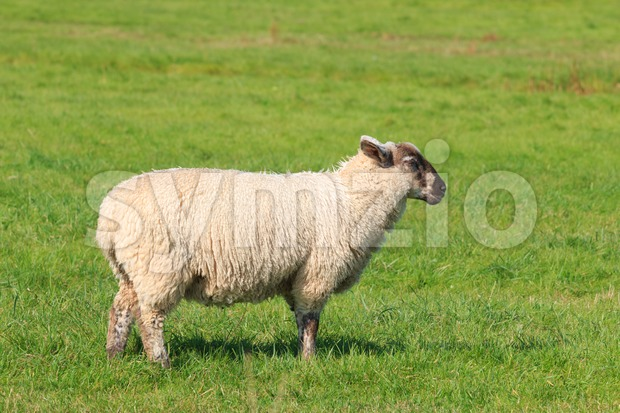 Woolly sheep standing in the pasture Stock Photo
