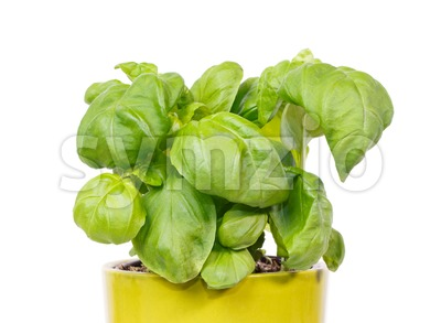 Fresh basil in a green pot Stock Photo