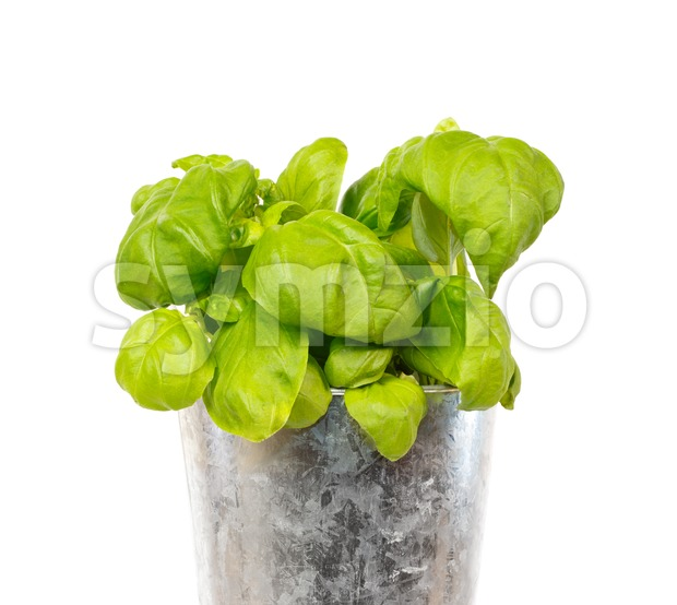 Fresh basil in a iron pot Stock Photo