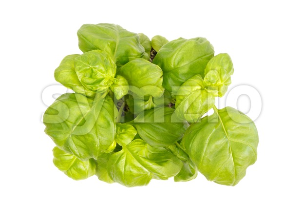 Top view of basil herb plant Stock Photo