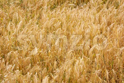 Golden wheat field in autumn Stock Photo