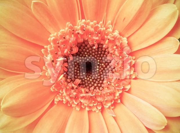 Macro detail of a vintage light pink color gerber flower Stock Photo