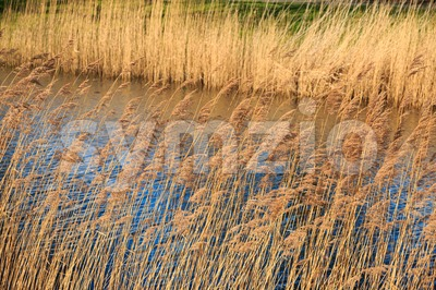 Dry reed along the rippling water Stock Photo