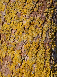 Tree bark with lichen in the evening sun Stock Photo