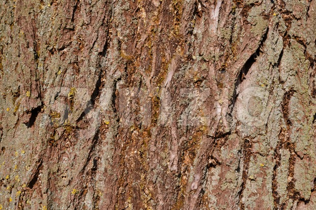 Tree bark of a willow Stock Photo