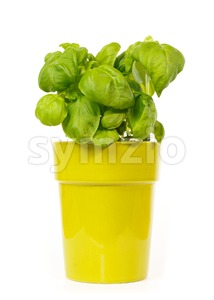 Basil plant in a green pot Stock Photo