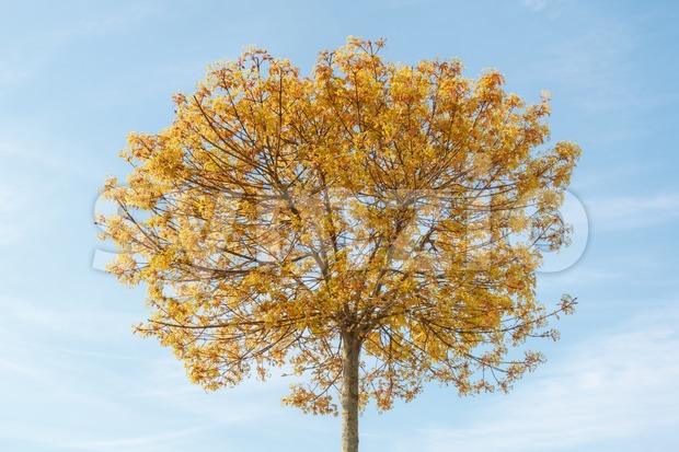 Flowering plane tree in spring Stock Photo