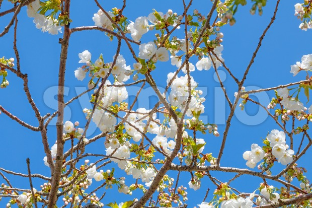 White blossom of Japanese cherry tree Stock Photo