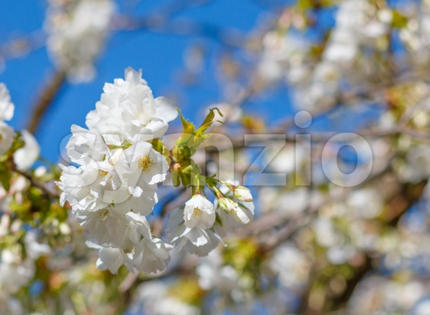 White blossom of Japanese cherry tree with shallow depth of field Stock Photo
