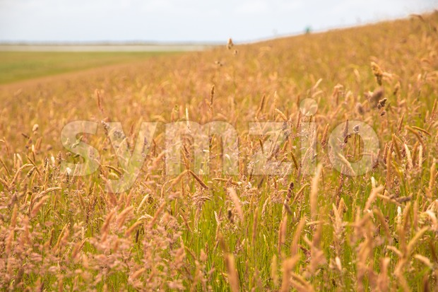 Field of tall grass on a hill Stock Photo