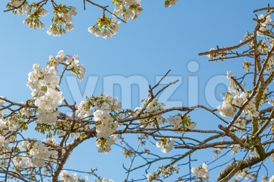 Branch of white blossom of Japanese cherry tree Stock Photo