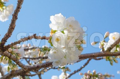 Close-up of white blossom of Japanese cherry tree Stock Photo