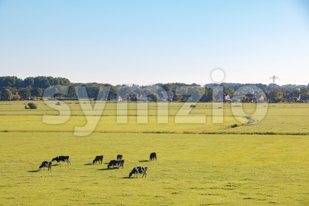 Dutch meadow landscape with Holstein Friesian dairy cattle in summer morning sun