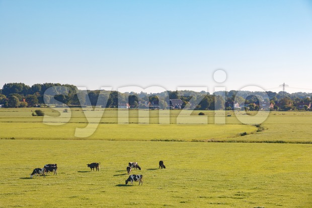 Dutch meadow landscape with dairy cows in summer morning sun