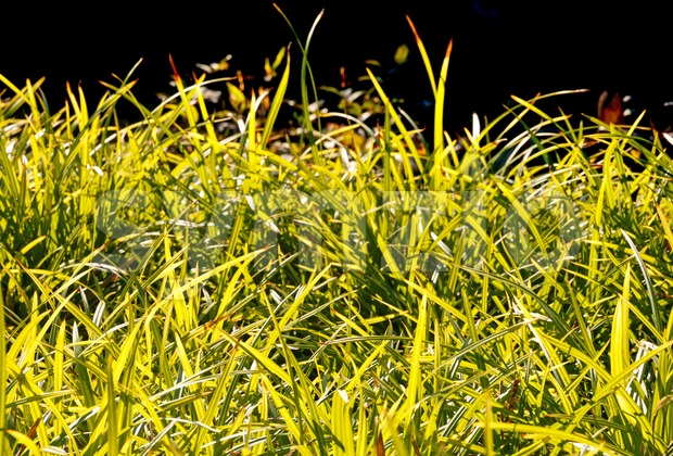 Grass colored yellowish in the late afternoon autumn sun, with shallow depth of field