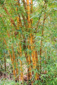 Golden bamboo stalks and green leaves Stock Photo