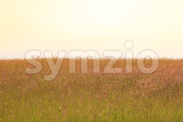 Field of tall grass with seeds in romantic colors